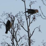 Holy Trinity Church - Waxwings - 006 (5)