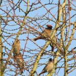 Holy Trinity Church - Waxwings - 008 (5)