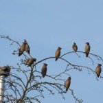 Holy Trinity Church - Waxwings - 010 (3)