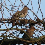 Holy Trinity Church - Waxwings - 012 (2)