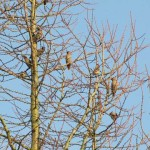 Holy Trinity Church - Waxwings - 014