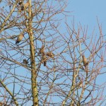Holy Trinity Church - Waxwings - 016 (1)
