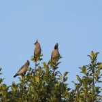 Holy Trinity Church - Waxwings - 018 (1)
